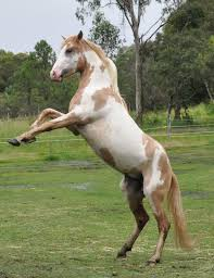 spanish mustang horse info origin