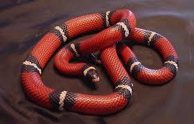 milk snake size nelsons milksnake