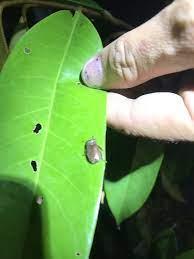 สอบถามยาตัวไหนกำจัดแมลงปีกแข็ง คล้ายด้วงกุหลาบ กินใบตอนกลางคืนบ้างครับ -  ทุเรียน - Kaset Go แอปชุมชนออนไลน์ของเกษตรกร