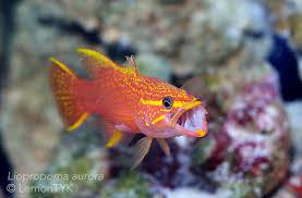 Awesome Fish Spotlight: Aurora, goddess of dawn and depth | Reef ...
