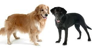 labrador retriever. Perfect Retriever Golden Retriever Vs Labrador Inside D
