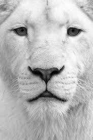 white lion iphone wallpaper. Fine Iphone Wallpaper Lion Iphone On White Lion Iphone H