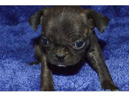 top quality pug puppies for