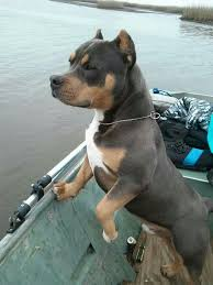 Blue Tri Colored American Bully He Is Beautiful I Want One So Bad