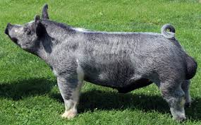 Image result for show pigs