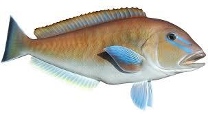 blueline tilefish. Exellent Tilefish 30inch Blueline Tilefish And R