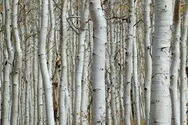 Goedkoop Fotobehang Met Bomen Een Berkenbos Of Bamboe Makkelijk