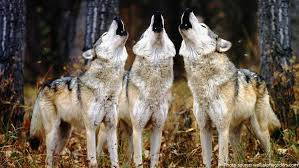 gray wolf pack. Brilliant Pack A Lone Wolf Howls To Attract The Attention Of His Pack While Communal  May Send Territorial Messages From One Pack Another In Gray Wolf Pack