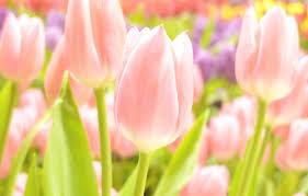 spring tulip desktop wallpaper. Unique Desktop Photo Wallpaper White Summer Flowers Yellow Pink Gentle Focus Inside Spring Tulip Desktop Wallpaper T