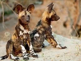 """Résultat de recherche d'images pour """"chiens sauvages"""""""