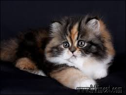 calico kittens for sale. Simple Sale The Most Ignored Answer For Calico Persian Kittens For Sale Throughout