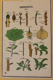 Vintage Smallwood Botanical Chart 12 Spermatophytes Plant
