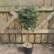 small trees for pots planters patio