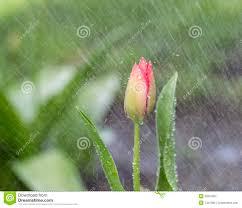 Einzelner Blumen Im Frühjahr Regen Stockbild Bild Von
