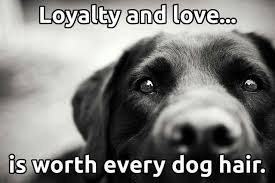 Dog Quotes Love And Loyalty Inspiration Loyalty And Loveis Worth Every Dog Hair