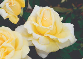 Potted Roses English Pinterest David Fragrant Rose Plants All Fragrant Rose Plants