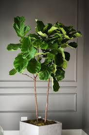 office indoor plants. Top 5 Indoor Plants And How To Care For Them Fiddle Leaf Fig-Ficus Lyrata Office T
