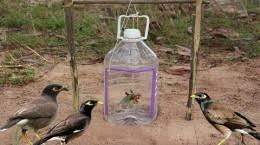 ساخت تله مرغ مینا با بطری آب - دام پرنده مینا بسیار ساده