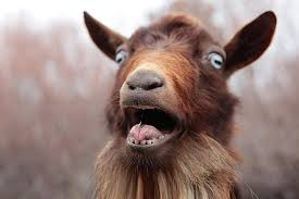 Image result for pictures of scared goats