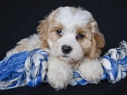 Cavachon Puppy Weight Chart Cavachon Dogs 101 Lovetoknow