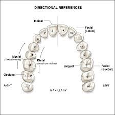 Children S Tooth Chart Letters Surfaces Of The Teeth An Overview Of Dental Anatomy