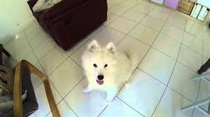 Cute Samoyed Puppy Growing Up 8 To 16 Weeks