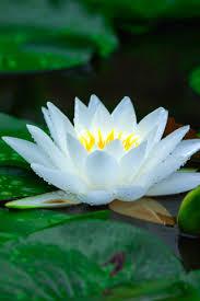 white lily flower wallpaper for mobile