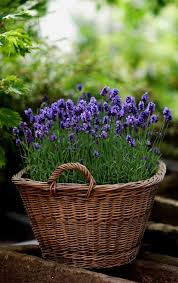 do you want to add lavenders to your garden but don t know how