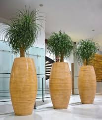 great office plants. 3 Great Looking Office Plants In Tall Wicker Planters T