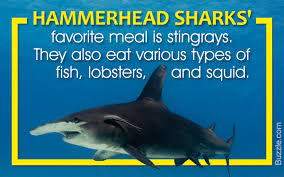 hammerhead shark facts for kids.  Hammerhead On Hammerhead Shark Facts For Kids