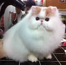 cute fluffy cats tumblr. Unique Tumblr Fluffy Cat With Cute Cats Tumblr T