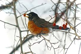 Robins Kitchen Garden City Solving The Mystery Of Why Huge Flocks Of Robins Are Spending