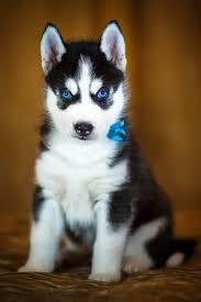 baby siberian husky with blue eyes. Contemporary Husky Siberian Husky Puppy With Beautiful Blue Eyes Stock Photo  56193656 To Baby Husky With Blue Eyes F