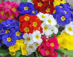 yellow white red and blue polyanthus