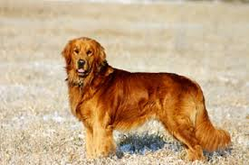 dark red golden retriever. Unique Retriever At Eleven Years Old U201cShepu201d Is Our Oldest Golden And The Outstanding Sire  At Windy Knoll Goldens A Handsome Regal Fellow Sporting A Rich Dark Gold  On Dark Red Golden Retriever