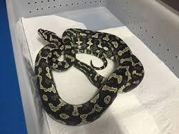 Jungle Carpet Python For Sale Qld