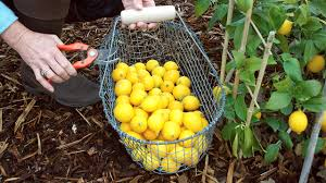 Best Grow Light For Citrus Tree How To Grow Meyer Lemons And Other Citrus Trees In