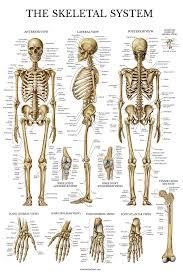 Human Bone Chart Skeletal System Anatomical Chart Laminated Human Skeleton Poster
