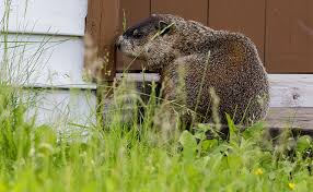 how to keep groundhogs out of my garden.  Keep Inside How To Keep Groundhogs Out Of My Garden I