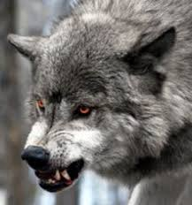 Wolf on Pinterest | White Wolves, Wolves and Angry Wolf via Relatably.com