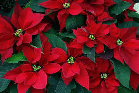 The mere mention of Christmas likely conjures up images of fresh cut flowers  of red and white nestled among deep green evergreens. They are, after all,  ...