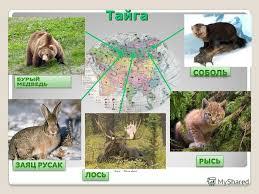 Презентация на тему Животный мир Евразии Животный мир Евразии  Тайга