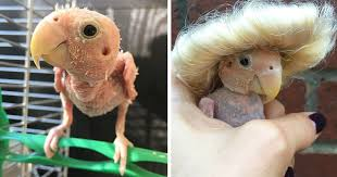 featherless parrot. Perfect Featherless Everyone Falls In Love With This Featherless Lovebird Send Mini Sweaters  To Save Her From Freezing  Bored Panda And Parrot L