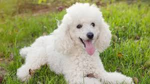 kid friendly small dogs that don t shed