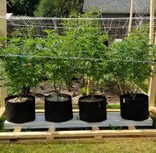 Pot Plant Light Cycle Pot Size And Light Cycle Change Dude Grows
