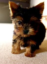 cute puppies for sale 2014. Interesting Sale Cute Yorkshire Terrier Puppies Yorkie For Sale  2014 On Happy Dog Heaven