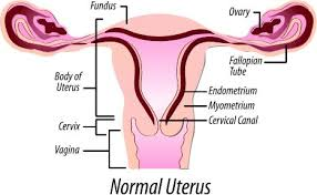 normal picture size what is the normal size of uterus inches mm iytmed com