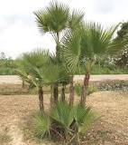 Image result for What are the tall palm trees in Florida called?