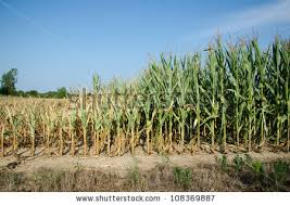 drought crops stock images royalty images vectors  field of corn damaged during drought in midwest usa