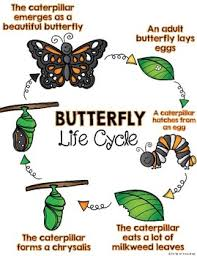 Interactive Anchor Chart Interactive Notebook Butterfly Life Cycle